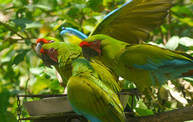 NATUWA Macaw Sanctuary: Saving the Scarlet Macaw and Great Green Macaw in Costa Rica