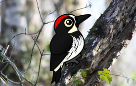 2018 Bonanza Bird #1: Acorn Woodpecker
