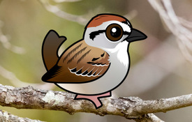2018 Bonanza Bird #6: Chipping Sparrow