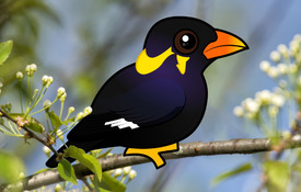2018 Bonanza Bird #7: Common Hill Myna