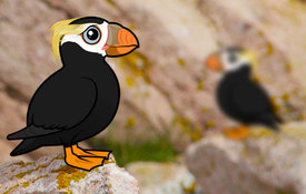 2018 Bonanza Bird #9: Tufted Puffin
