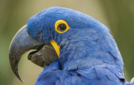 Show support for Hyacinth Macaw conservation