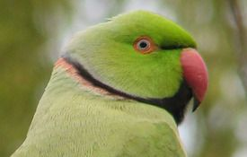Our Backyard Rose-ringed Parakeet
