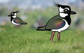 The Cutest Lapwing in the World
