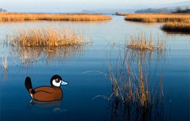 New Birdorable bird: Ruddy Duck