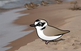 The Snowy Plover