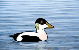 The Birdorable Common Eider