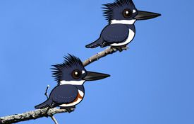 Introducing the Belted Kingfisher