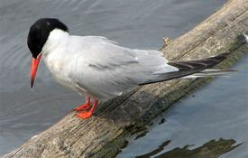 The Adorable Common Tern