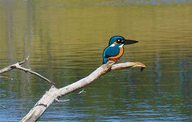 Common Kingfisher Bird of the Year in Germany