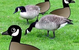 Fun facts about Canada Geese