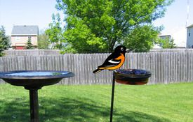 Baltimore Oriole at Our Feeder