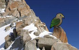 Kea, the Sheep-eating Parrot