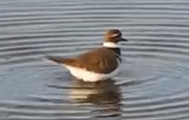 Crazy-cute Cleaning Killdeer Clip