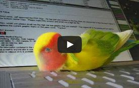 Cute video: sweet sleepy lovebird