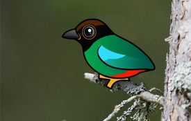 New: Hooded Pitta!
