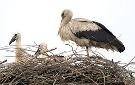 Baby Birdorable: White Stork