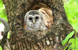 Baby Birdorable: Barred Owl