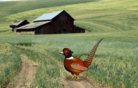 The common Common Pheasant