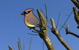 Cool Facts about Cedar Waxwings