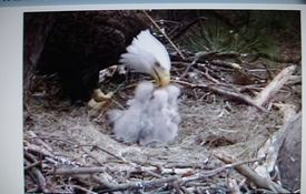 Baby Birdorable: Bald Eagle