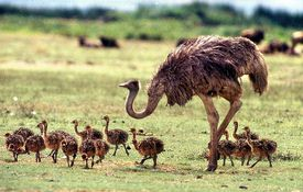 Baby Birdorable: Ostrich