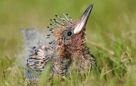 Baby Birdorable: Hoopoe