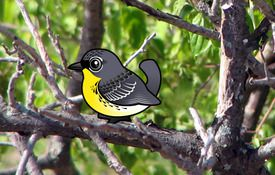 Kirtland's Warbler and the Migration Sensation