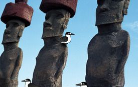 Wideawake on Easter Island