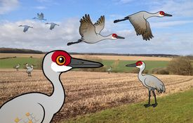 Bonanza Bird #1: The Sandhill Crane