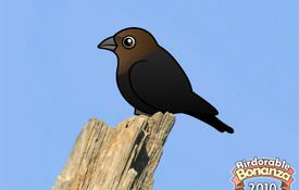 Bonanza Bird #8: The Brown-headed Cowbird