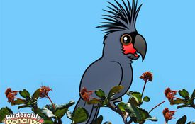 Bonanza Bird #9: The Palm Cockatoo