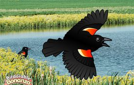 Bonanza Bird #14: The Red-winged Blackbird
