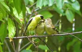 Baby Birdorable: American Goldfinch