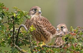 Baby Birdorable: Common Kestrel