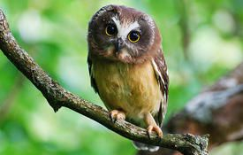 Baby Birdorable: Saw-whet Owl