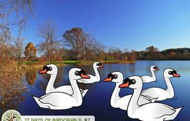 12 Days of Birdorable: Seven Swans-a-Swimming