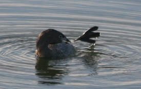 10 Facts About the Pied-billed Grebe