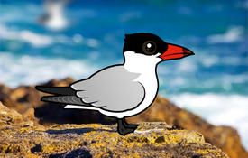 Ten Facts About the Caspian Tern