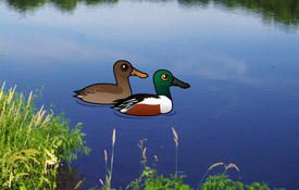 Fun facts about the Northern Shoveler