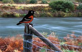 Orchard Oriole Fun Facts