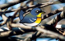 Fun facts about the Northern Parula