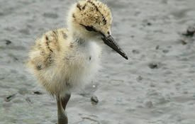 Baby Birdorable: Black-winged Stilt