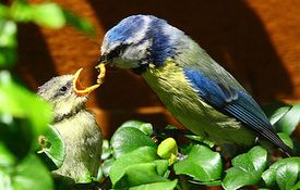 Baby Birdorable: Blue Tit