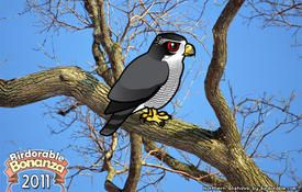 Bonanza Bird #9: Northern Goshawk