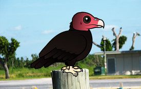 The Cutest Turkey Vulture
