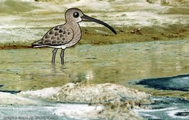 10 Facts about the Eurasian Curlew
