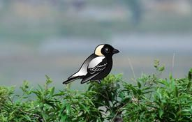 Fun Bobolink Facts