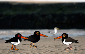 Fun Oystercatcher Facts