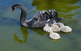 Baby Birdorable: Black Swan